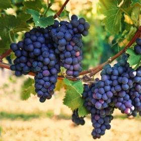 Svatomartinské víno s KVF